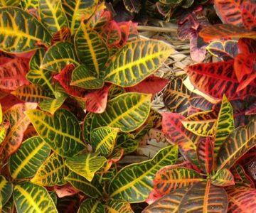Croton+species (1)